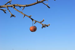 Frozen Crabapple Tree. Frozen crabapple hanging from a tree Royalty Free Stock Photography