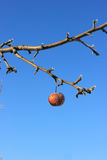 Frozen Crabapple Tree. Frozen crabapple hanging from a tree Royalty Free Stock Photo