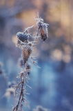 Frozen creeping thistle Stock Image