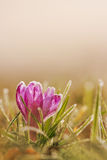 Frozen crocus flower in frost. Spring flower in nature with soft stock photography