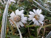 Frozen daisies stock photo