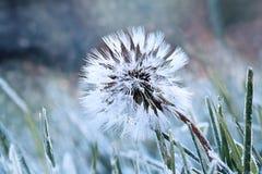 Frozen Dandelion Stock Image