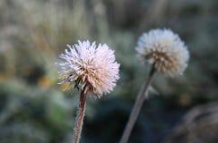 Frozen Dandelions Stock Image