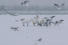 Frozen Danube river with swans and seagulls eating Stock Photo