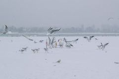 Frozen Danube river with swans and seagulls eating. On a snowing winter day Stock Photography