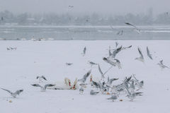 Frozen Danube river with swans and seagulls eating. On a snowing winter day Stock Images