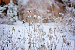 Frozen dead flowers in winter garden Stock Photos