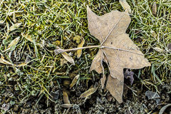 Frozen dead leaf isolated on a green grass park. Brown frozen dead plant leaf on a green grass park Royalty Free Stock Photography