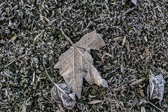 Frozen dead leaf isolated on a green grass park. Brown frozen dead plant leaf on a green grass park Royalty Free Stock Image