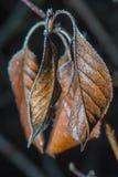 Frozen dead leafes macro. Two brown frozen dead leafes macro shot Stock Photo