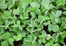 Frozen Dew Clover Royalty Free Stock Photography