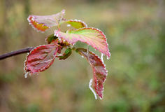 Frozen Dew Leaves Stock Image