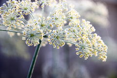 Frozen Dill. Flowers with ice Stock Photo