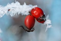 Frozen dog rose, close up, in winter, frost stock images