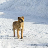 Frozen dog walks Royalty Free Stock Photography