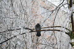 Frozen dove on ice tree. After freezing rain Stock Photography