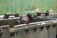 Frozen dove Royalty Free Stock Image