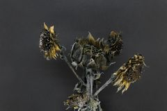 Frozen and dried sunflower blossoms stock photography