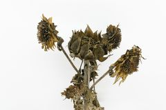 Frozen and dried sunflower blossoms. On white background royalty free stock photo
