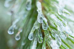 The frozen droplets of ice on pine needles. Stock Photo