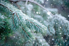 The frozen droplets of ice on pine needles. Royalty Free Stock Photos