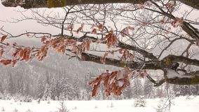 Frozen Dry Beech Leaves On A Tree Branch. At the  Winter Mountains stock video