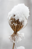 Frozen dry flower powdered with snow at winter background Stock Photo