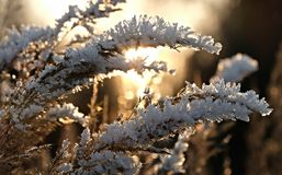 Frozen dry grass Royalty Free Stock Photo