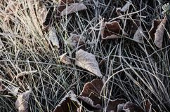 Frozen dry leaves Stock Images
