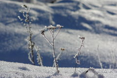 Frozen dry plant Stock Photography