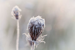 Frozen dry plant covered with hoarfrost of winter morning, macro nature background Stock Photography