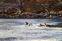 Frozen Duck Pond Stock Image