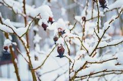 Frozen eglantine. Under snow in winter forest Royalty Free Stock Photos