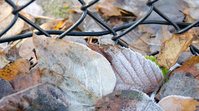 Frozen elm and birch leaves under mesh fence covered by ice crys Royalty Free Stock Photography