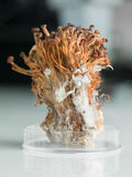 Frozen enoki mushrooms sheaf in petri dish. Coneptual image of petri dish containing a sheaf of frozen enoki mushrooms Stock Photo