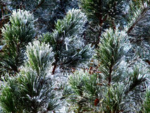 Frozen Evergreen Stock Images