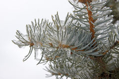 Frozen Evergreen Branch Royalty Free Stock Photos