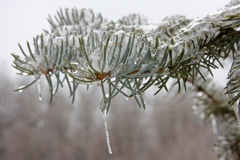 Frozen Evergreen Branch Stock Image