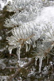 Frozen Evergreen Branch Stock Photo