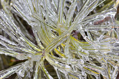 Frozen Evergreen Needles Royalty Free Stock Image