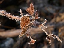 Frozen fall leaves. Winter floral background representing  frozen fall plant Royalty Free Stock Photos