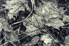Frozen Fall Leaves - Sepia Royalty Free Stock Photography