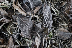 Frozen fallen dead autumn leaves with ice crystal in winter. (co Royalty Free Stock Images