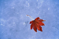 Frozen fallen leaf of maple Stock Images