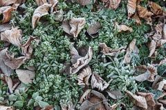 Frozen fallen leaves on grass Stock Photo