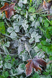 Frozen fallen leaves on grass Royalty Free Stock Photography