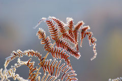 Frozen Fern in Autumn Morning Stock Photography