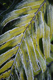 Frozen fern Royalty Free Stock Image