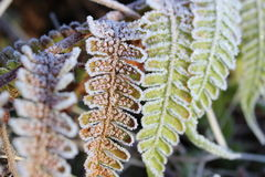 Frozen fern. Frozen leaves and pores of ferns on which the sun is revealed Royalty Free Stock Images