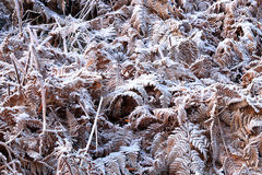 Frozen ferns Royalty Free Stock Images